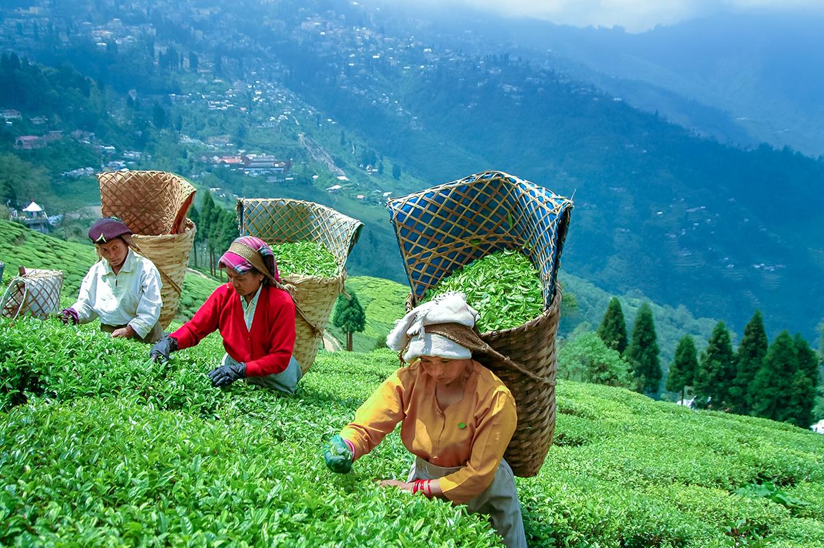 インド・ティープロモーター社のダージリン有機紅茶